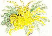 mimosa13